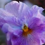 パンジー/Viola x wittrockiana