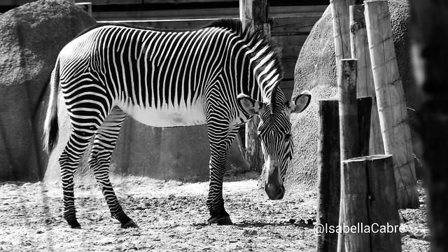 Zebra square, B&W, Zoo de Vincennes, Paris