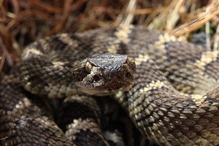 crotalus_oreganus | by Philosopher with a camera