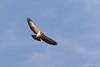 Short-Tailed Hawk / Gavilán Cola Corta (Buteo brachyurus) by Erick Houli