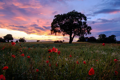flowers blue sunset red tree green field grass countryside fuji purple yorkshire poppies fujifilm