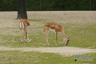 Hirschziegenantilope