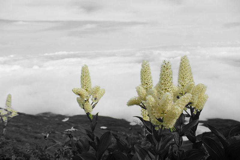 高山植物_18