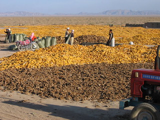 Maize and sunflower harvest Chahaertan | by DFAT photo library