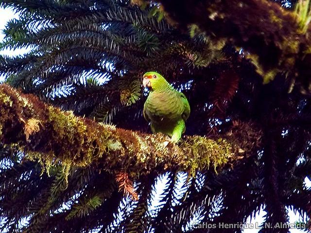 Vinaceous Parrot