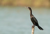 Little Cormorant by rracine1