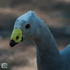 Cape Barren Goose [Cereopsis novaehollaniae] by imageo