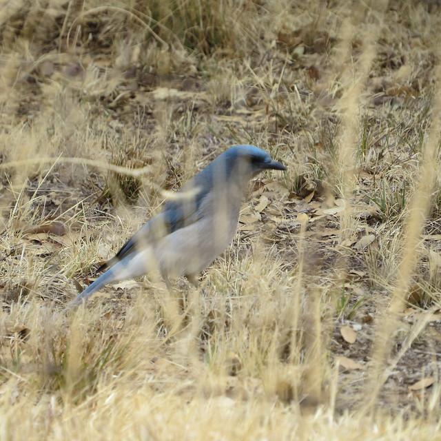 Gray Breasted Jay