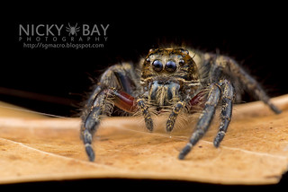 Jumping Spider (Hyllus sp.) - DSC_4681 | by nickybay