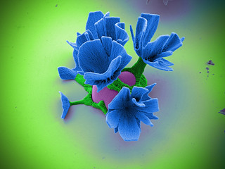 Nano Flowers 2, false-colored and imaged with ZEISS SEM   by ZEISS Microscopy