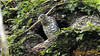 Collared Forest-falcon Inmature by Pajarazzi