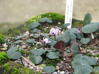 Cyclamen parviflorum | by peganum