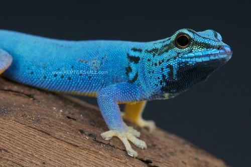 Electric blue day gecko / Lygodactylus williamsi