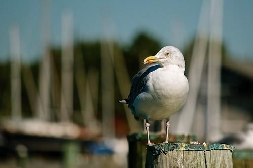 morning bird nature sunrise outdoors nikon seagull gull inlet nikkor tilghmanisland randyroberts 57rroberts