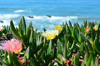 Beach Flowers | by Darshan Simha