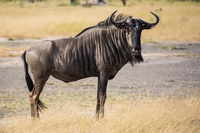 Blue Wildebeest  (2)