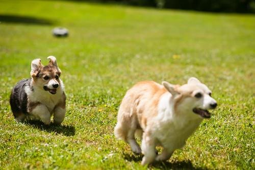 Corgi Puppies in July | by evocateur