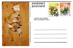 1980-06-18 SWA Postcard Lioness - Unsent (1200)