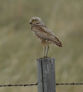 Burrowing Owl | by fydnar