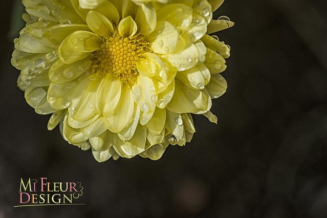131015_6808 Chrysantemum