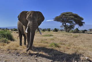 Elephants in Amboseli National Park, Kenya, East Africa | by diana_robinson