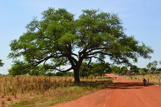 In Niger, Faidherbia trees help to increase crop yields. | by World Agroforestry