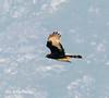 Black Harrier by upperwinskill