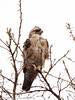 Immature Wahlberg's Eagle by xrxss15