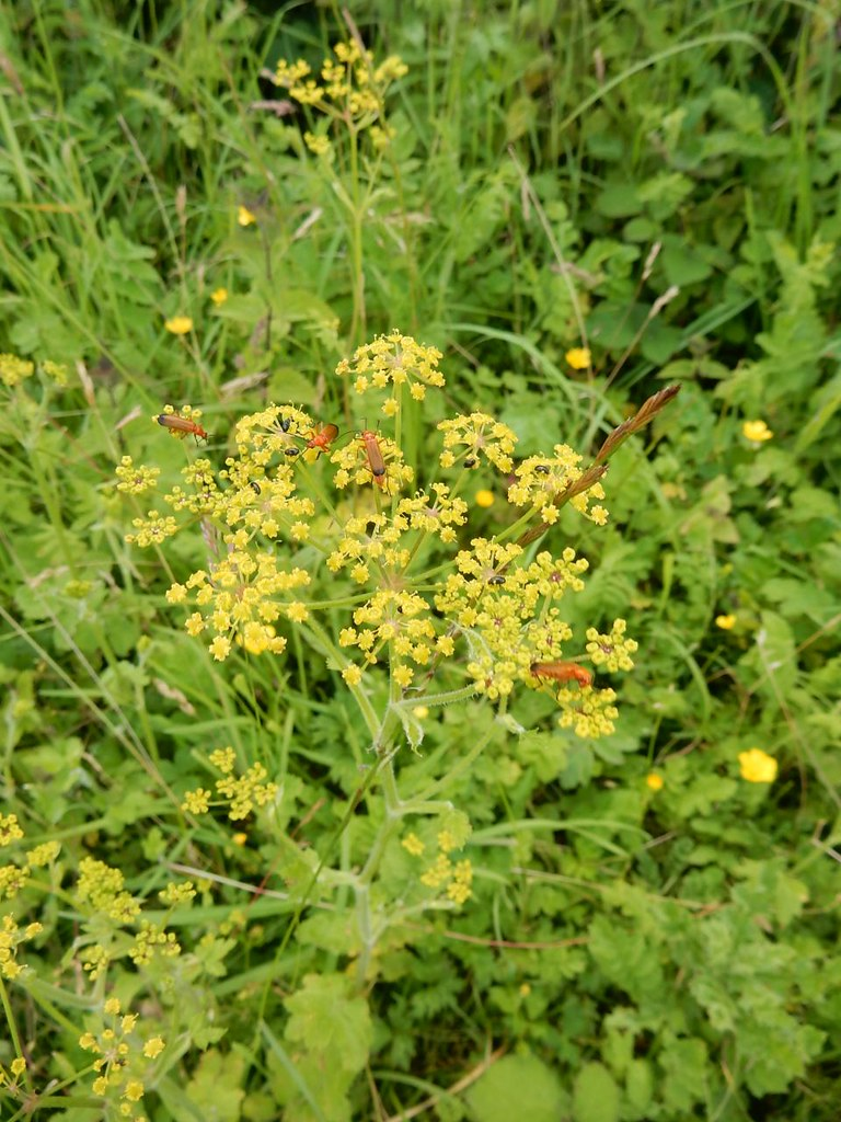 Bugs on wild parsnip Hitchin Circular