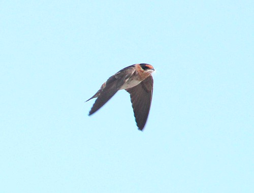 668 - CAVE SWALLOW (4-23-12) western race, south of rocksprings, edwards co, tx  (6) | by Alan Schmierer