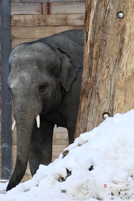 Asian Elephant Ludwig 2015_02_04 271