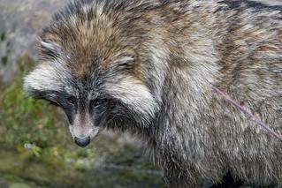 Raccoon dog with head down   by Tambako the Jaguar