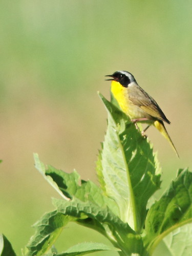Common Yellowthroat 20160629