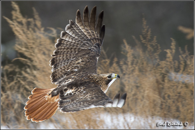 Red-tailed Hawk (20130103-0633)