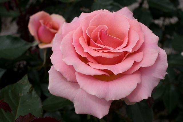 Rose (Tournament of Roses) at Ofuna Botanical Garden,Kamakura