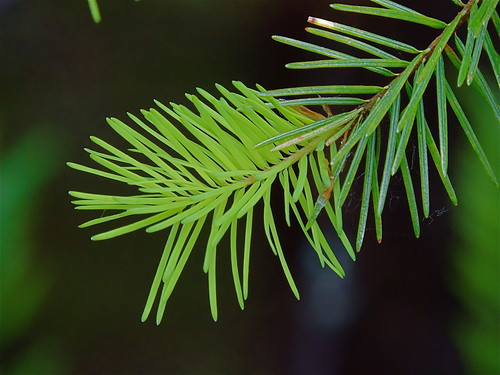New spring conifer growth | by nordique