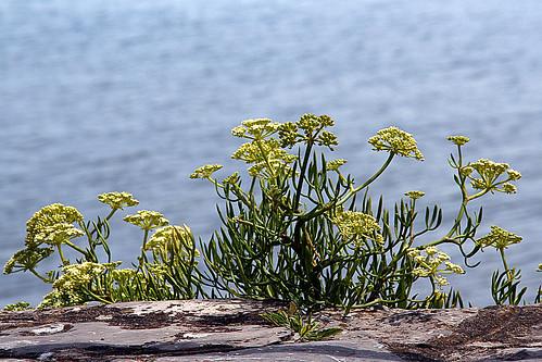 Hinojo marino, Crithmum maritimum