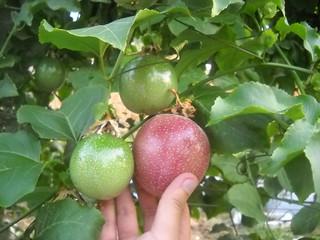 Passion Fruit V Large size b Oct 12, 2015 | by toutberryfarms