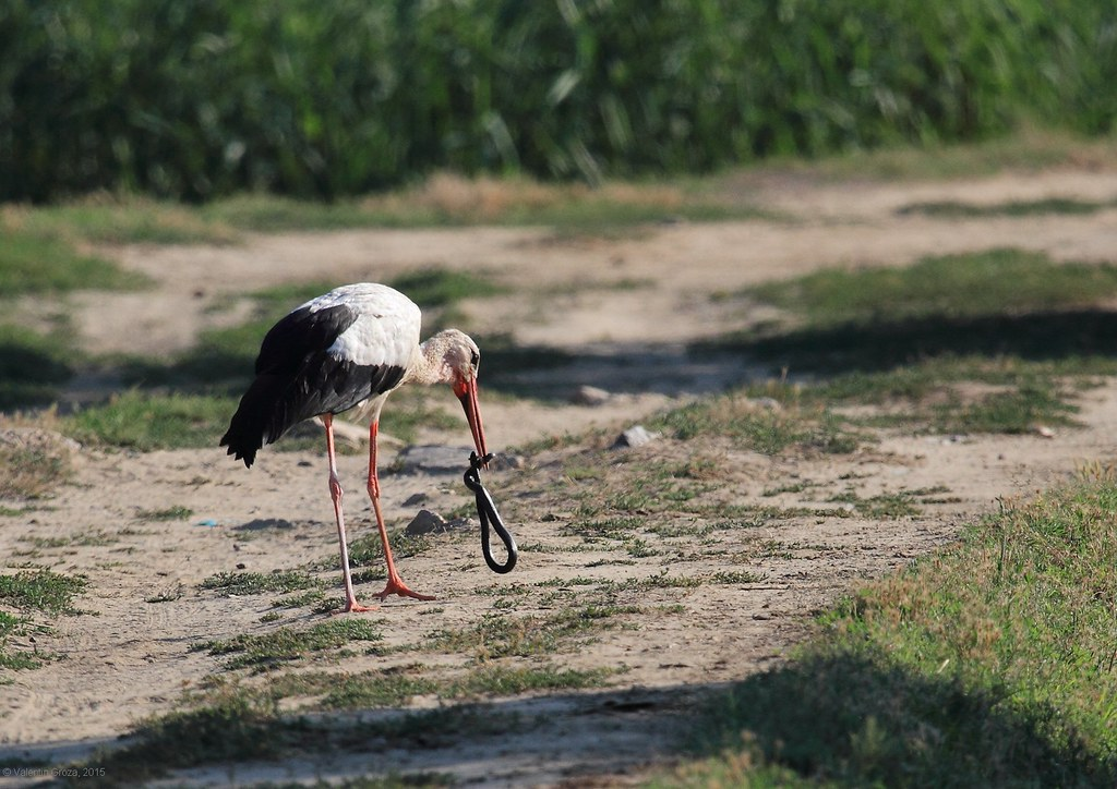 Stork with snake