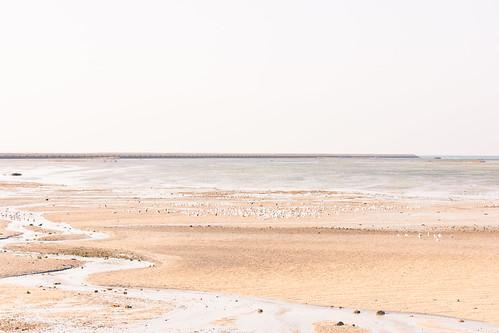 bird sea gull bahrain