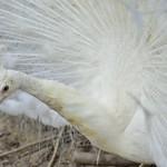 白孔雀開屏