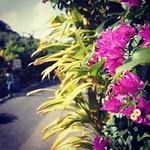 ブーゲンビリアも咲いてるよ♪(^^)/ #加計呂麻島 #瀬戸内町 #奄美大島