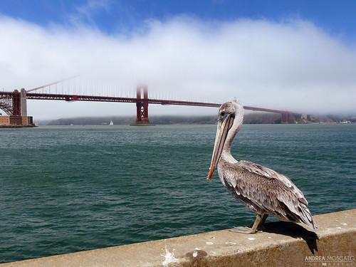 bridge sea usa bird water clouds america us nuvole mare unitedstates ponte goldengate acqua molo waterside uccello statiuniti andreamoscato