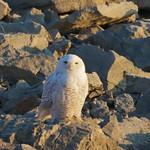 Thu, 05/01/2014 - 11:40am - Snow Owl