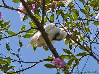 Bare-throated Bellbird | by This Way - Birding Services
