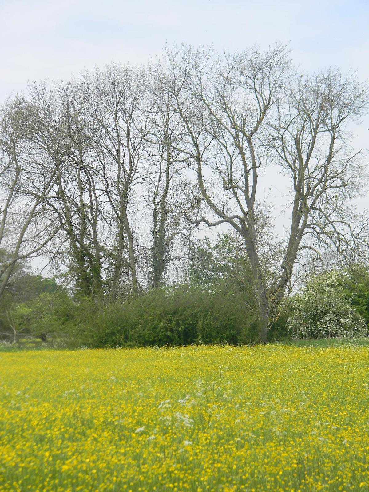 Buttercups Manningtree Circular