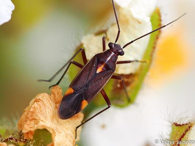 Percevejo // Bug (Capsodes flavomarginatus)