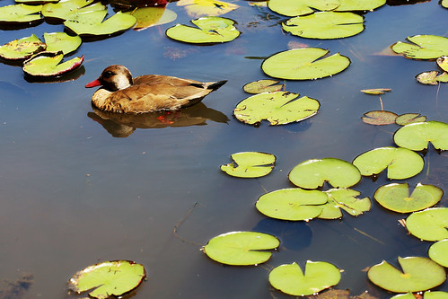 brazil nature water animal canon garden duck saopaulo botanicalgarden