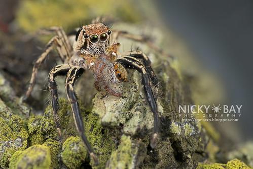Jumping Spider (Plexippus sp.) - DSC_4903   by nickybay