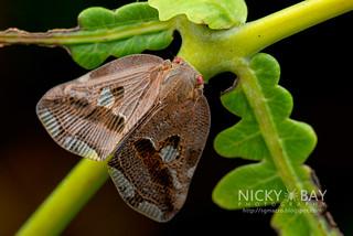 Moth-like Planthopper (Ricaniidae) - DSC_6565